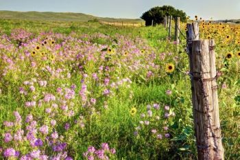 Wildflowers are abundant this year in the Sand Hills.