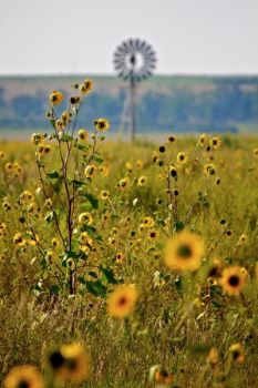 Wild sunflowers are especially thick this year in southern Bennett County. This scene was shot from the road leading to LaCreek's trout ponds.