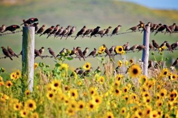 Both male and female red-wing and yellow headed black birds were flocking to feed on the sunflowers.