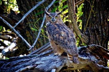 An owl spotted me just before I spotted him near the trout ponds and allowed me to take his portrait.