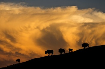 Sunset silhouettes buffalo against a building thunderhead on