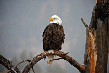 Bald eagle on the border of Custer State Park and Wind Cave National Park.