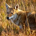 The coyote became South Dakota s state animal in 1949. Some have suggested the bison would be more representative of the state. Paul Higbee wonders if rattlesnakes should be considered. Photo by Christian Begeman