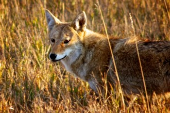 The coyote became South Dakota's state animal in 1949. Some have suggested the bison would be more representative of the state. Paul Higbee wonders if rattlesnakes should be considered. Photo by Christian Begeman