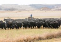 Eight hundred head of Black Angus cattle create a dusty haze as they move eastward to winter pasture west of Wilmot.