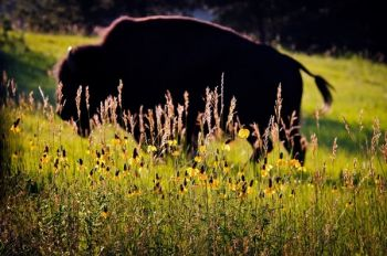 Custer State Park interns soon learn to watch out for buffalo. Photo by <a href='www.dakotagraph.com' target='_blank'>Chad Coppess</a> of South Dakota Tourism.