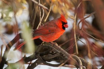 A male cardinal in Terrace Park at Covell Lake in Sioux Falls.