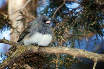 A dark-eyed junco enjoying the winter sunshine at Good Earth State Park.