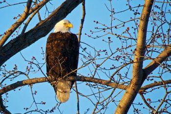 A bald eagle along the road on the east side of Newton Hills State Park.