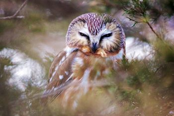 Sleepy Northern Saw-whet owl at Newton Hills State Park.