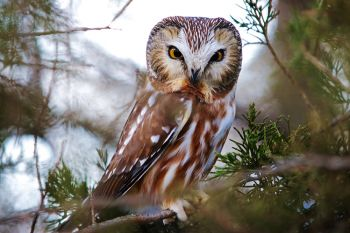 Northern Saw-whet owl at Newton Hills State Park.