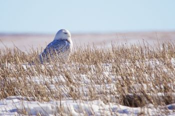 Snowy owl at rest in the Fort Pierre National Grasslands.