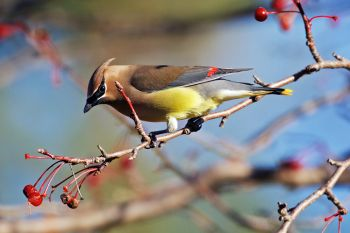 Cedar waxwing at Lake Vermillion Recreation Area.