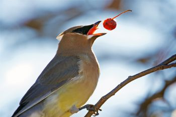 Cedar waxwing throwing a berry he picked down the hatch.