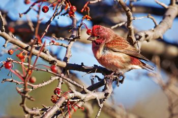 Purple finch at Lake Vermillion Recreation Area.