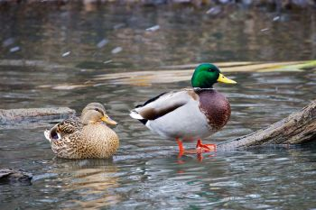 A mallard drake and his lady friend in a light snowfall in early December at the Sioux Falls Outdoor Campus.