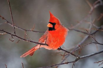 A male cardinal with snow falling at the Sioux Falls Outdoor Campus.