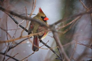 A shy female cardinal at Sioux Falls Outdoor Campus.