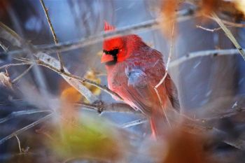 A male cardinal avoiding the photographer in a tangle of branches and unfallen leaves.