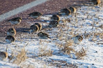 A mix of horned larks and Lapland longspurs dining along the side of a road in subzero temps north of Brandon.