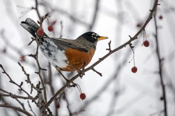 A robin that decided to winter at the Big Sioux Recreation Area near Brandon.