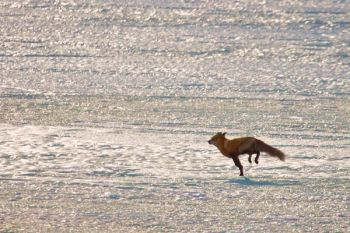 The wily fox on Silver Lake.