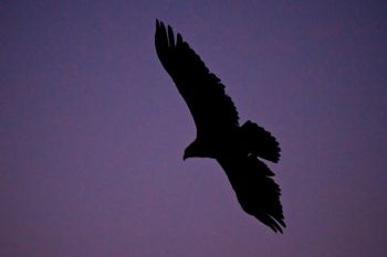 A silhouetted eagle against the deep blue sky of early morning.