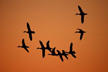 Incoming waterfowl against a predawn sky.