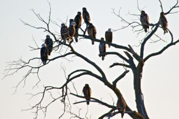 Bald Eagles watching over Silver Lake.