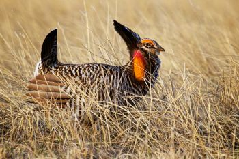 A displaying prairie chicken in the tall grass.