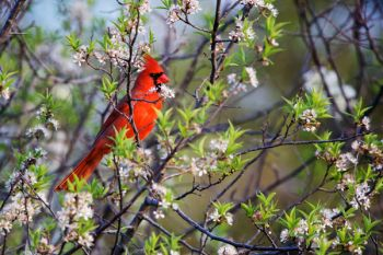 Northern Cardinal among spring buds at Big Sioux Recreation Area.