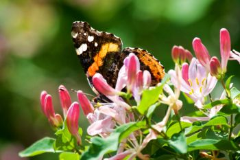 Red Admiral Butterfly among spring blossoms at the Dells of the Big Sioux.