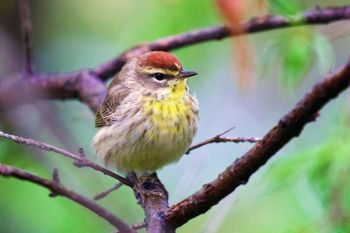 Palm Warbler, Lake Herman State Park.
