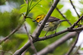 Black-throated Green Warbler, Palisades State Park.