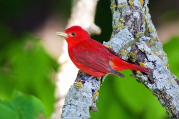 Summer Tanager, Newton Hills State Park.