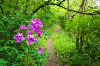A hiking trail bordered by flowering dame's rockets at Union Grove State Park.