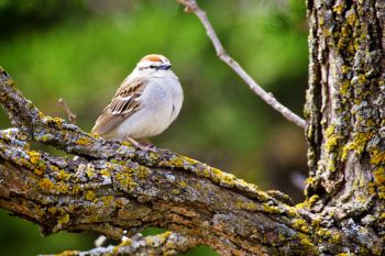 Migrating sparrows are the first songbirds to arrive in spring. This Chipping Sparrow was proudly singing at Good Earth State Park.