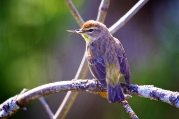 Many songbirds feed on flying insects, which makes them friends of mine. This is a Palm Warbler at the Dells of the Big Sioux near Dell Rapids.