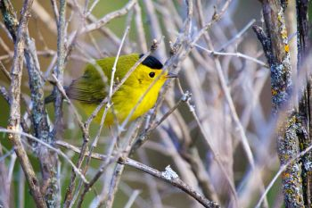 Wilson's Warbler at the Dells.