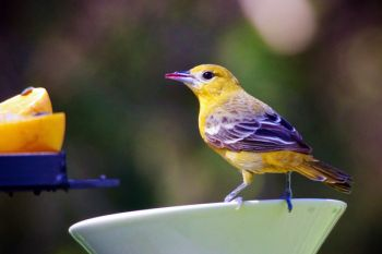 This female Baltimore Oriole was dining on the grape jelly at the Good Earth feeder.