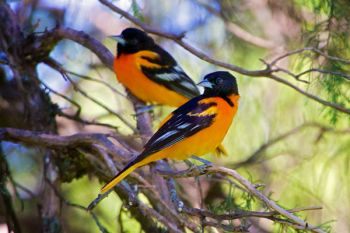 A couple of male Baltimore Orioles at Good Earth.