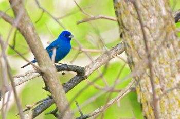 An Indigo Bunting at Big Sioux Recreation Area.