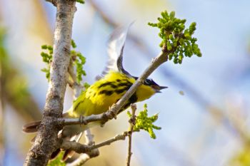 Right as I pressed the shutter to snap this photo, this Magnolia Warbler made his move to catch a flying snack.
