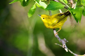 A Yellow Warbler at Newton Hills State Park south of Canton.