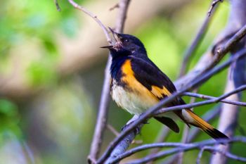 This male American Redstart was singing along a horse trail at Newton Hills.