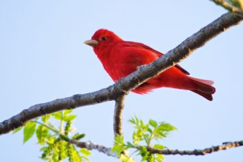 I was hoping for a Scarlet Tanager at Newton Hills, but got a rare view of a Summer Tanager instead.