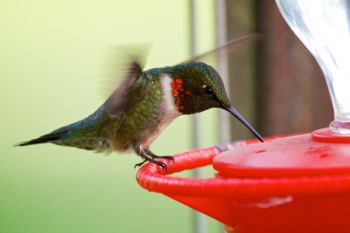 A male Ruby-throated hummingbird at the feeders of Good Earth.