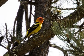 One of my favorite birds found in the Black Hills is the Western Tanager.
