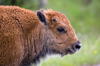 A bison calf hanging out alongside Custer State Park's Wildlife Loop.