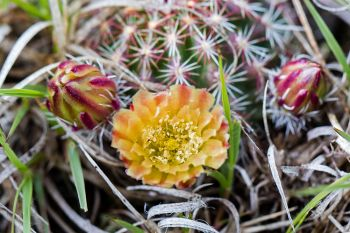Missouri pincushion cactus just beginning to bloom.